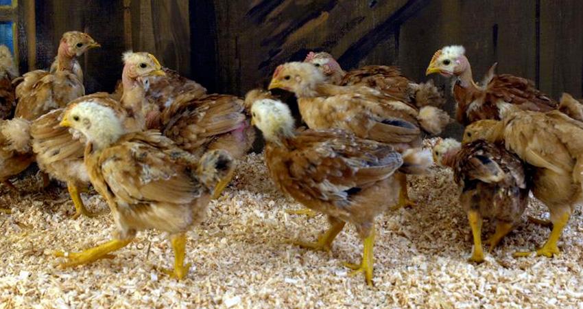 Poule et coq cou nu , vente poule cou nu, vente de coqs cou nu, réservation de cou nu, élevage de vollaile cou nu dans les Vosges, élevage de poule cou nu en Haute Saone