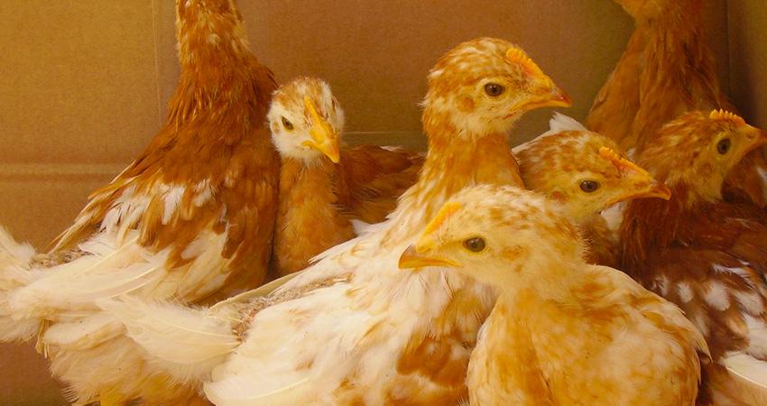 élevage vente de production de poussin ja657 dans les vosges et en haut de saone, ferme avicole des Chavannes