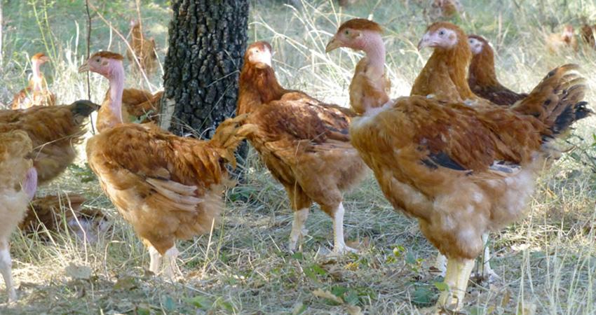 Poules et coq cou nu, poules et coq ja657, vente poule cou nu et poules ja657, vente de coqs cou nu et coqs ja657, réservation de cou nu, réservation de JA657, élevage de vollaile cou nu et vollailes ja657 dans les Vosges, élevage de poule cou nu et poules ja657 en Haute Saone