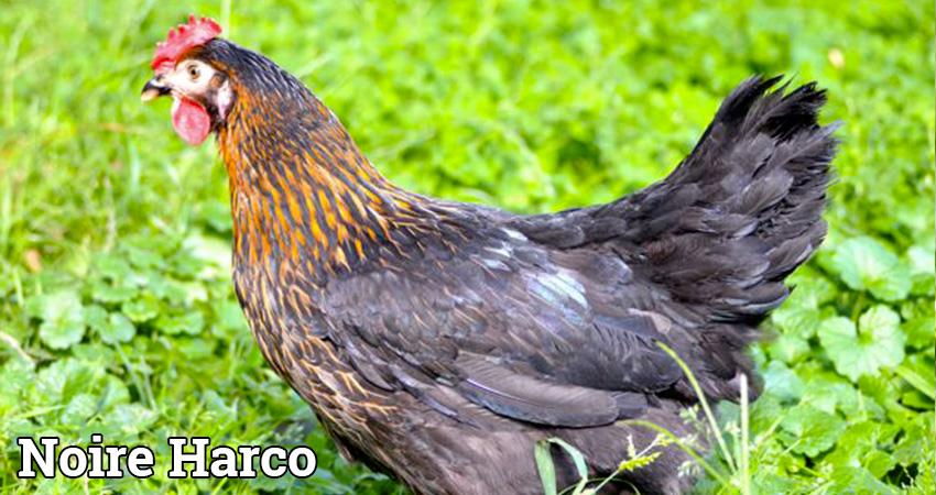 Poule noire harco, vente poule noire harco, réservation poule noire harco, élevage de vollaile noire harco dans les Vosges, élevage de poule noire harco en Haute Saone