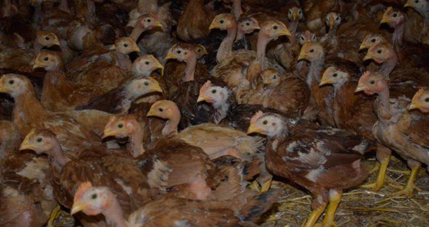 poulets roux de 3 semaines, eleveur et producteur de poulet roux