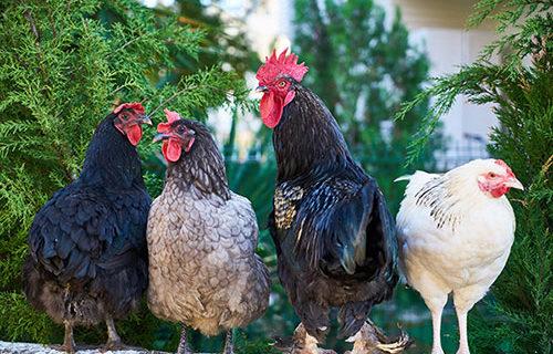 Vente de poules pondeuses vaccinées, vermifugées traitées à la terre de Diatomée.   Vente d'aliment , de terre de Diatomée et de petit matériel d'élevage